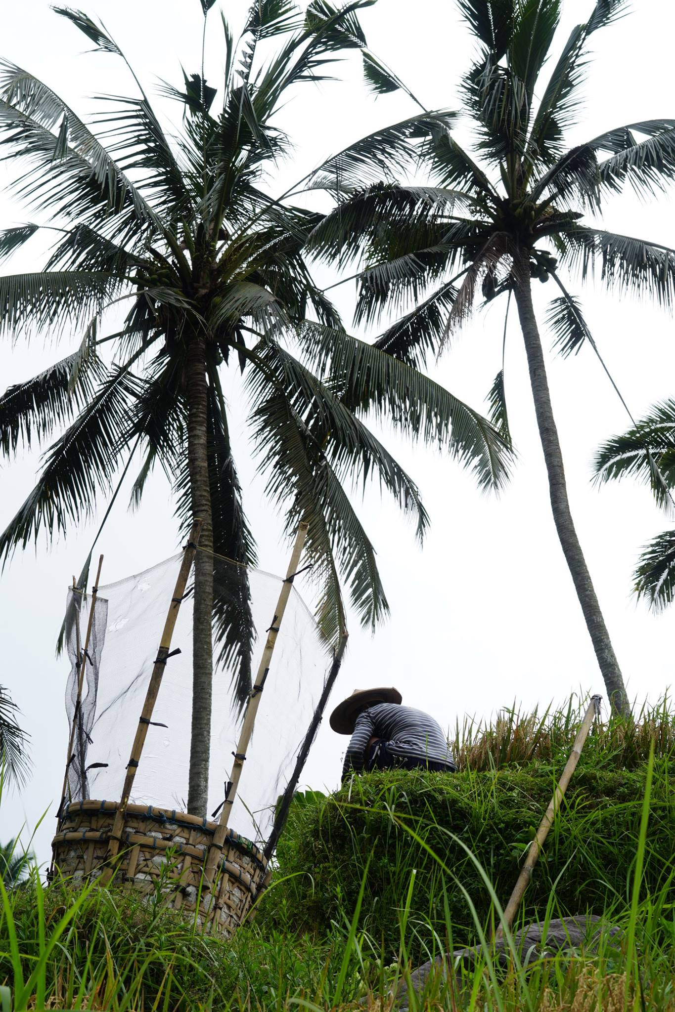 Palm tree in Bali